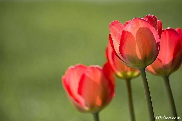 dac diem hoa tulip