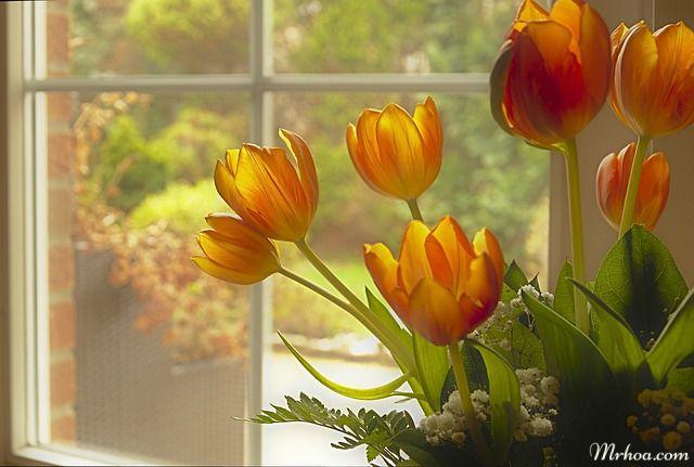 nguon goc hoa tulip