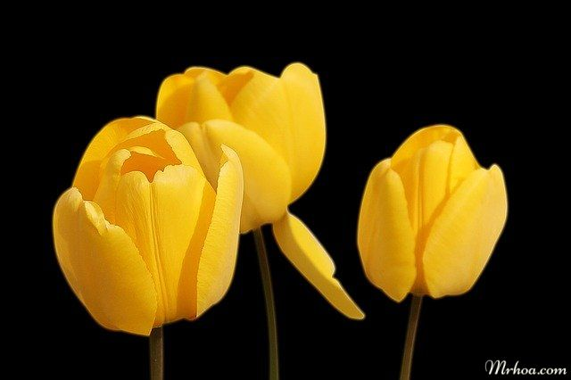 tulip o dau