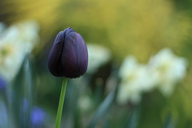 ý nghĩa hoa tulip đen