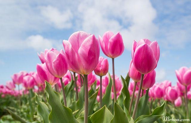 ý nghĩa hoa tulip hồng