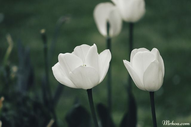 y nghia hoa tulip trang